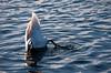 Sub Cigno....Lato B (albi_tai) Tags: reflection water river reflex ticino swan nikon sub fiume acqua riflessi luce cigno d90 subacqueo entenarsch fiumeazzurro nikond90 lifebeautiful albitai pontedoleggio