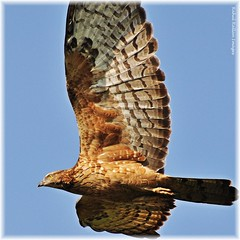BUZZARD AT 12 O'CLOCK (Rahul Rallan) Tags: ngc flight raptor naturesfinest orientalhoneybuzzard abigfave