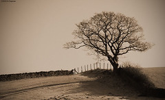 Cumbrian Tree (Chapmanc123) Tags: winter england lake tree english field stone wall sepia fence landscape mono shadows near district branches dry cumbria limbs nikkor vignette 18200mm d90 sawrey