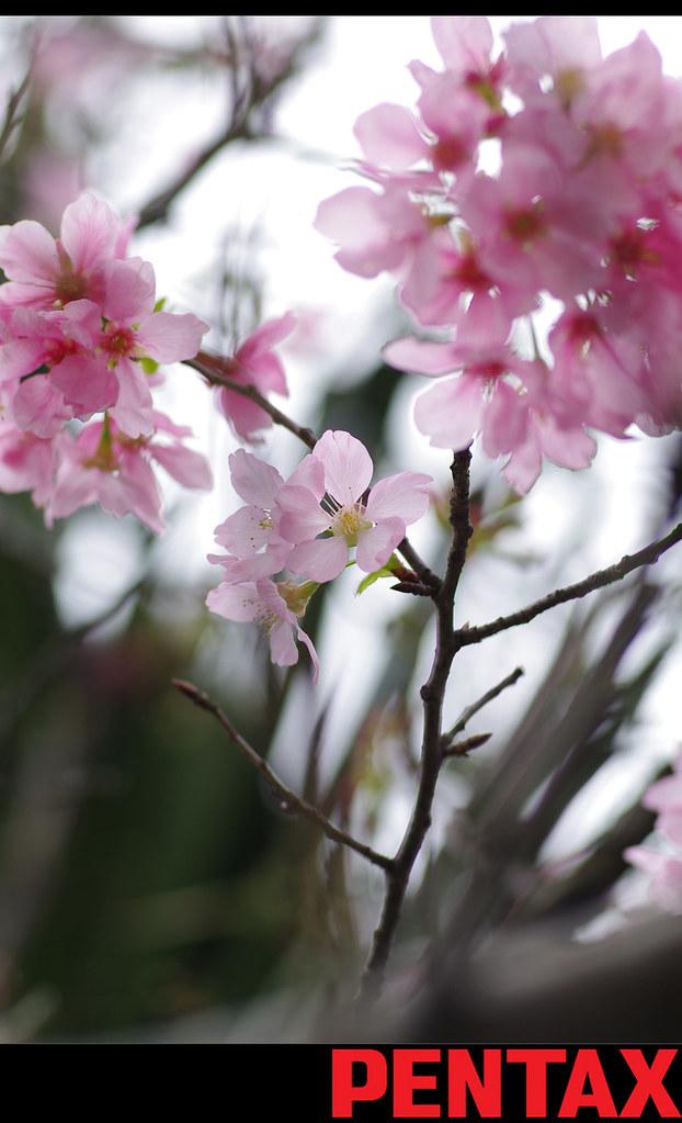 去不了天元宮,我在新竹找櫻花拍^^