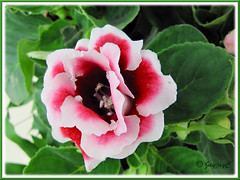 Sinningia speciosa (Florist's Gloxinia, Brazalian Gloxinia) - pink/white double flowers