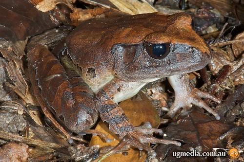 Northern barred frog (Mixophyes schevilli)