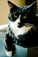 Pensive Sox (viclimay) Tags: cats chat gatos kitties gatitos   indoorcat catinhos