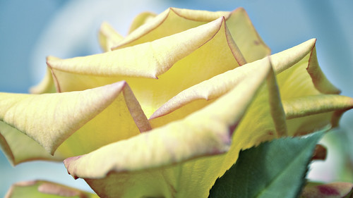 wallpapers of yellow roses. Yellow Rose