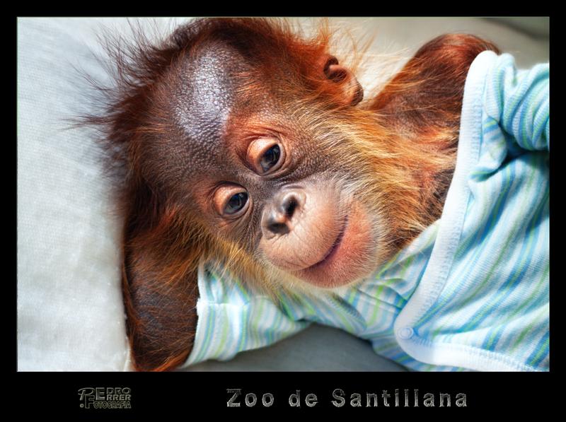 Silvestre - Orangután Zoo de Santillana