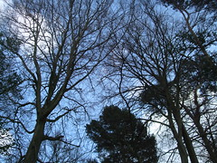 chippenhamcommon-trees