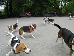 beagling (animaltourism.com) Tags: park dog beagle square village meetup hound run east tompkins dogrun