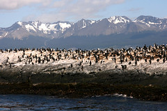 Stripes along Beagle's Channel (Pirkipetola) Tags: sea summer patagonia snow mountains southamerica birds animals montagne mare uccelli neve animali sudamerica 2011 flickrtravelaward