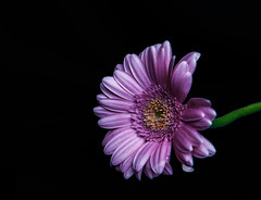 (jen.ivana) Tags: petal pink yellow gerbera stem dark green background flower stalk