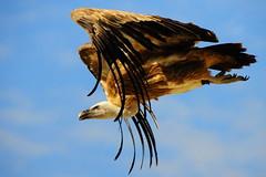 [フリー画像] [動物写真] [鳥類] [野鳥] [猛禽類] [ハゲワシ]      [フリー素材]