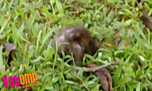 Huge rats seen at Yishun Park