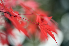 Autumn leaves ~~ (Marie Eve K.A. (Away)) Tags: november autumn red colour fall nature japan season maple kyoto bokeh foliage  2009  autumncolor autumntint 11   momoji notprocessed abigfave tofukujitemple