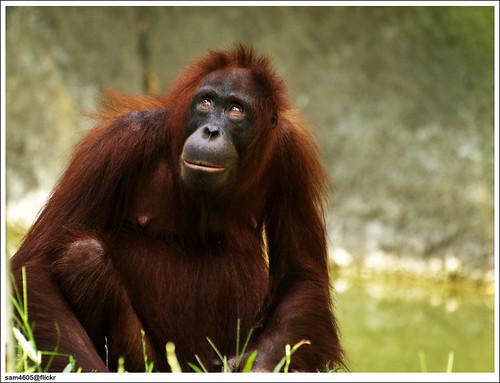 Lok Kawi Wildlife Park - Orang Utan