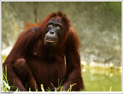 Lok Kawi Wildlife Park - Orang Utan (sam4605) Tags: road park old nature animal ed zoo wildlife olympus malaysia borneo orangutan kotakinabalu 70300mm e1 sabah kota orang kinabalu utan lok binatang zd kawi animalzoo penampang sabahborneo sam4605 donggongonpapar