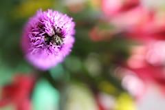 Only joking... (Lookaloopy) Tags: flowers canon eos colours bokeh natura bouquet colori naturalmente esplosione cinquantino 450d