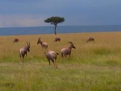 Grupo de Topis (anacm.silva) Tags: storm kenya safari topi masaimara frica savana masaimaranationalreserve topis qunia