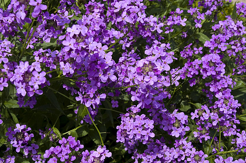 Garten von Eichstätt - Nachtviolen