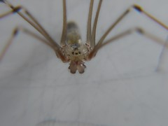 Pholcus up close! (Terry P1974) Tags: macro nature spider amazing interesting natural panasonic g1 oxfordshire witney pholcus macroexperiment