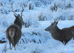 Highland Stags (Ally.Kemp) Tags: winter snow scotland frost stag scottish deer highland stags ullapool elphin