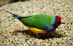 Gouldian 2 (tkmckinn) Tags: birds australia july09