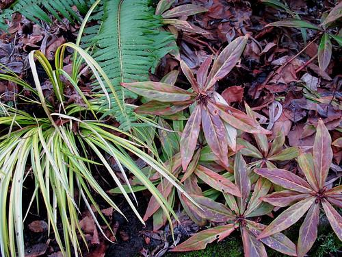 Lysimachia paridiformus stenophylla, acorus gramineus 'Ogon' (sweet flag), fern