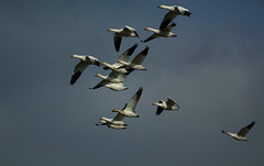 68EV0336 (sgbaughn) Tags: geese goose snowgeese snowgoose