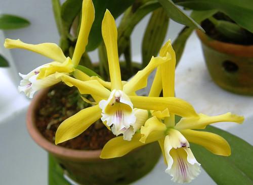 orquidea 36