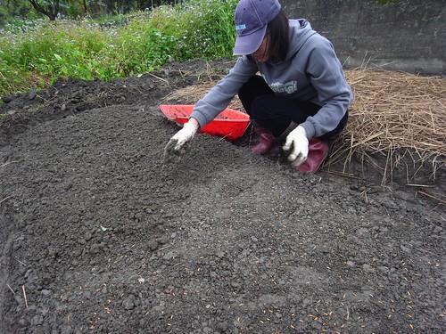 鳳林自然農田 川口由一自然農法的秧田 稻子育苗- 覆土