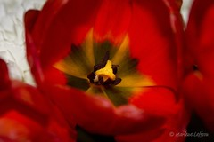 Tulip (Leffson Photography) Tags: flowers nature canon1855mm ©allrightsreserved canon7d marleneleffson leffsonphotography ©marleneleffson ©allrightsreserved©marleneleffson