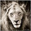 ...young king... (- Just John -) Tags: lion botswana justjohn orientexpresssafaris