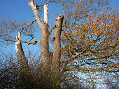 Detail of a tree with broken limbs (WayShare) Tags: tree suffolk holbrook stutton