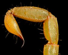 sting (Roy D.) Tags: animal flickr wildlife arachnid sting tail scorpion beast creatures creature beasts invertebrates zoology buthidae centruroides telson undomesticatedanimals animals