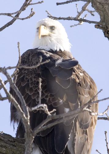 bald eagle_7