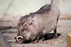 2010-03-07-14h26m14.272P4118l (A.J. Haverkamp) Tags: zoo rotterdam blijdorp warthog dierentuin diergaardeblijdorp phacochoerusafricanus httpwwwdiergaardeblijdorpnl knobbelzwijn canonef100400mmf4556lisusmlens