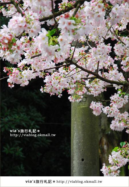 【淡水天元宮櫻花】跟著via賞花趣~天元宮櫻花最新花況17
