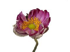 Frana 20310bb (.Neusi) Tags: flower flor masterphotos neusi