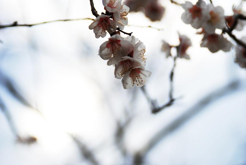 sendai-sakura-2-800