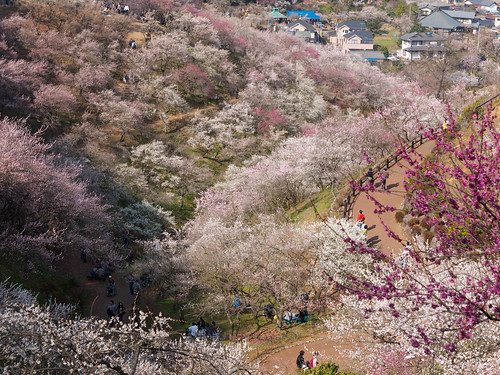 Valley of Plum Blossoms