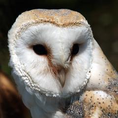 Eule / Owl (schreibtnix on'n off) Tags: nature birds animals tiere natur owl vögel barnowl birdsofprey tytoalba greifvögel eule olympuse1 schleiereule specanimal diamondclassphotographer flickrdiamond bestofmywinners