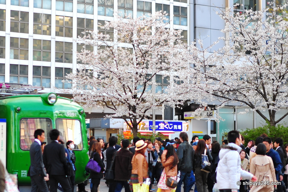 The sakura trees are a nice addition to the area where Hachiko sits.