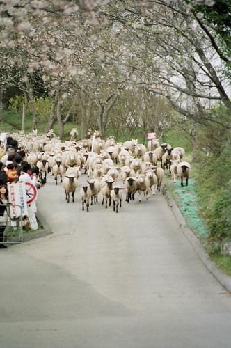 羊の大行進1