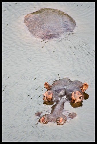 hippo head hippo ass