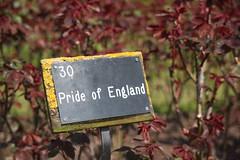 Rose garden (Gypsy Saskia) Tags: park roses london regentspark prideofengland
