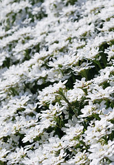 (Katsura under the Full Moon) Tags: flower color washington redmond april   iberissempervirens candytuft