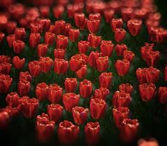 [フリー画像] 花・植物, 花畑, チューリップ, ユリ科, 赤色の花, 201004240700