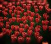 Red and Green (Jose Luis Mieza Photography) Tags: flowers flores flower fleur fleurs flor fflower benquerencia florews reinante jlmieza reinanteelpintordefuego joseluismieza