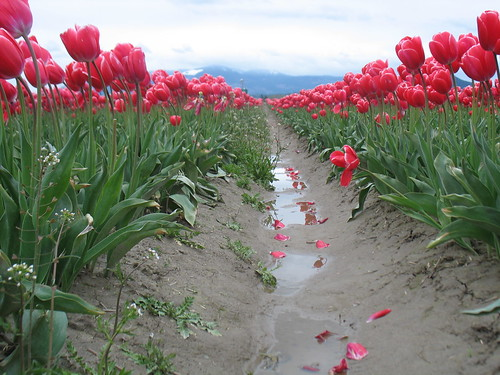 View of the tulips and mountains, taken from almost ground-level