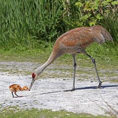 Baby Sandhill Crane (Peggy Collins) Tags: bravo crane eating delta sandhillcrane babyanimal reifelbirdsanctuary babycrane cranechick cranepictures babysandhillcrane peggycollins motherandbabybird