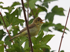 Orpheussptter / Melodious Warbler (Hippolais polyglotta (Sexecutioner) Tags: bird nature birds animal animals canon germany deutschland tiere wildlife natur vgel tier rheinlandpfalz vulgar ingelheim 2011 hippolaispolyglotta melodiouswarbler felosapoliglota hypolaspolyglotte zarcerocomn orpheussptter orpheusspotvogel taiturikultarinta busqueta copyrightsexecutioner bosqueta polyglottsngare canapinocomune zarceroicterino hyppolaspolyglotte  zarceropolglota kratkokrilivoljic kratkokrilivolji  sedmohlsoktebotav zaganiaczwielomwny zaganiaczszczebliotliwy kysakanatlysarymukallit sedmihlsekvitoiv sedmihlsekvitoriv sedmihlsekvitoiv prqeshsizmbl arkcmukallit hashinagamushikui spottesanger  dligeze skopsngvari    zaganiaczszczebiotliwy beffarelpoliglot kratkoperutivrtnik lnekosulane daugiabalstoinuk ksakanatlsarmukallit  papoxamariella