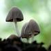 Fairy Inkcap, Coprinellus disseminatus,